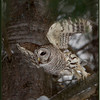 Barred Owl Taking Off