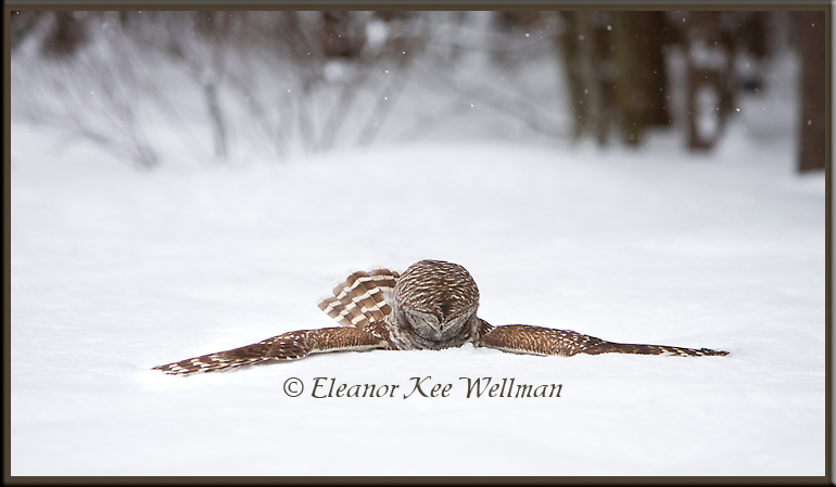 Barred Owl on Prey in Snow#1
