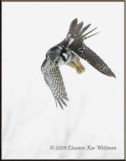 Northern Hawk Owl Flying Down
