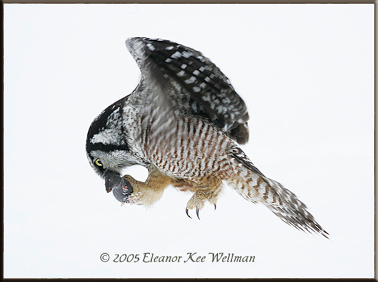 Northern Hawk Owl Transferring Prey