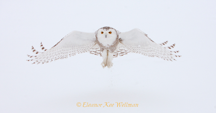 Snowy Owl after Pick-Up