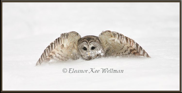 Barred Owl Taking Off from Snow