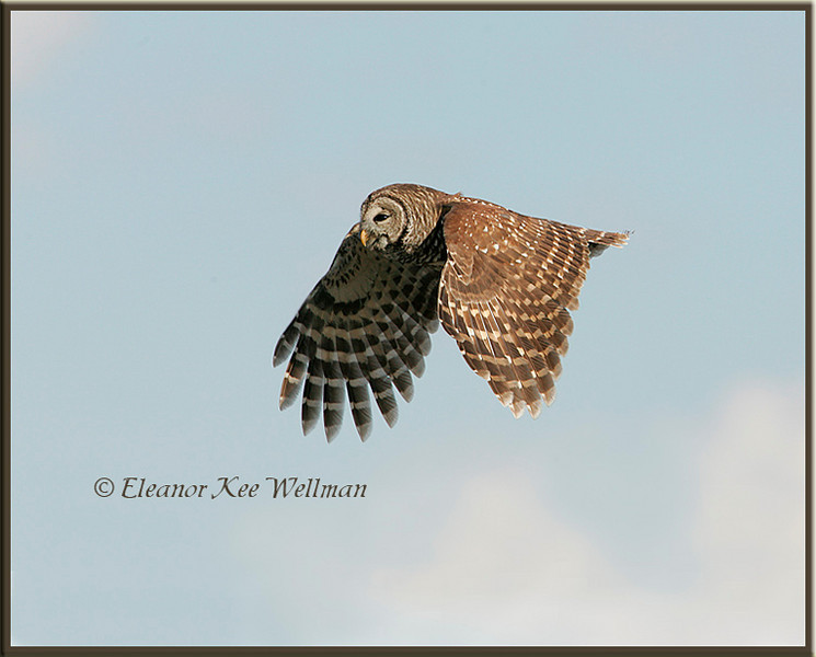 Barred Owl Flying By, Wings Down
