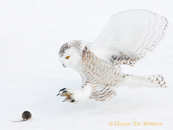 Snowy Owl Grabbing for Prey