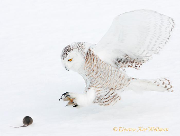 Snowy Owl Grabbing for Prey