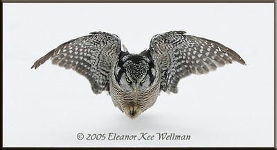 Northern Hawk Owl Coming In