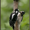 Hairy Woodpecker, female, feeding female juvenile