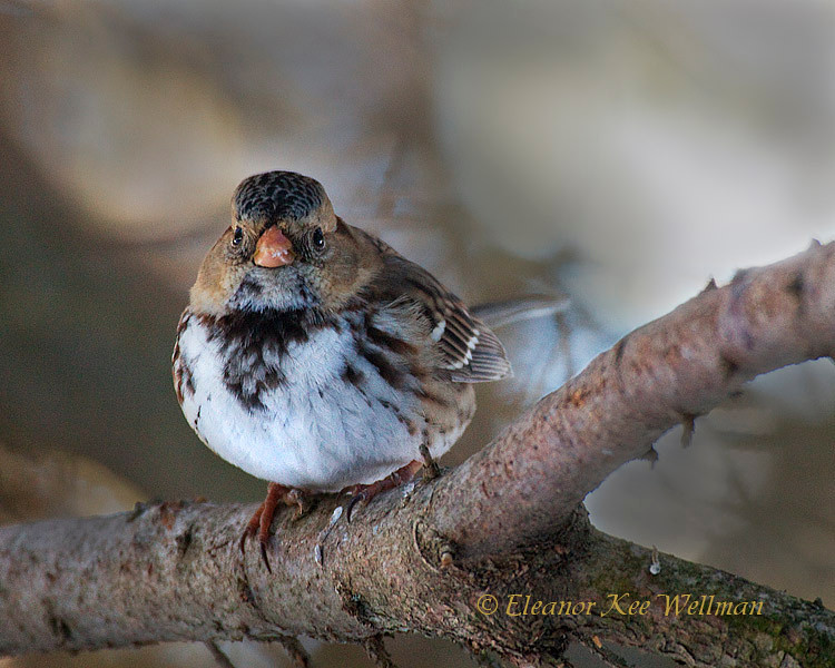 Harris's Sparrow - First Winter, Ontario