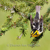 Blackburnian Warbler, Male, Breeding Plumage, showing back