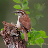 Carolina Wren on Stump