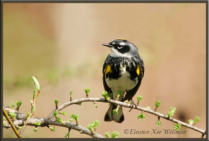 Yellow-rumped Warbler, Male, on Tamarack