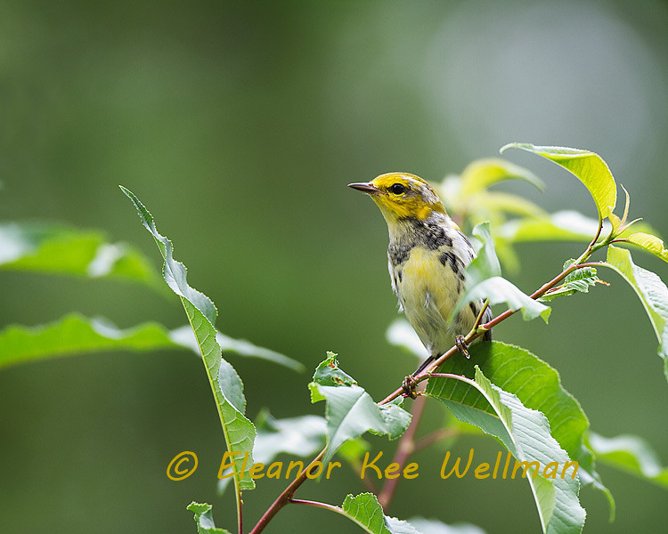 Black-throated Green Warbler, Male, Fall molting