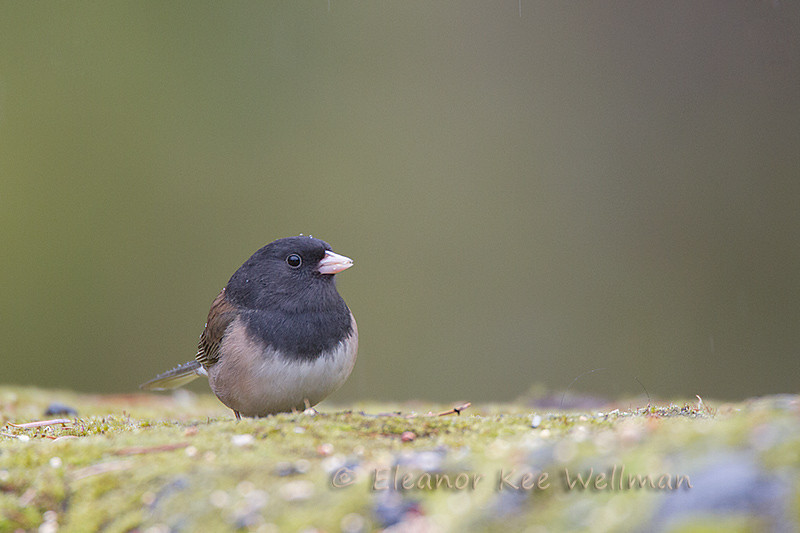 Oregon Junco - Male