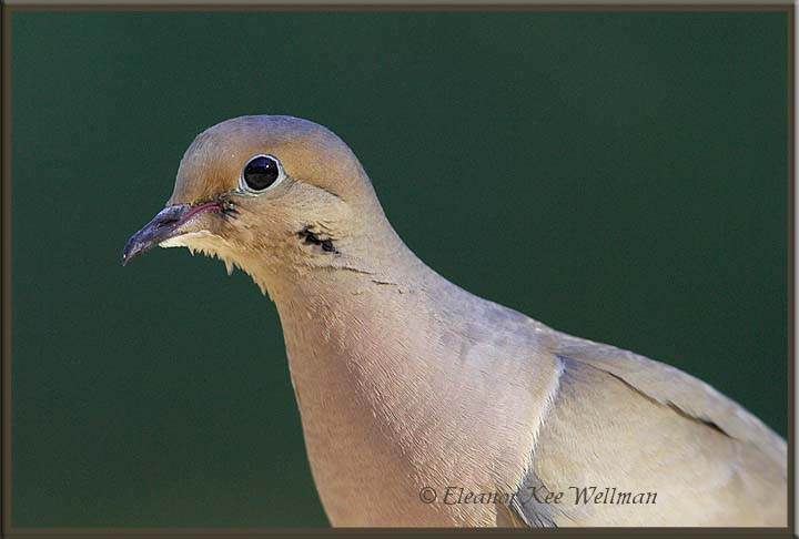 Mourning Dove Portrait