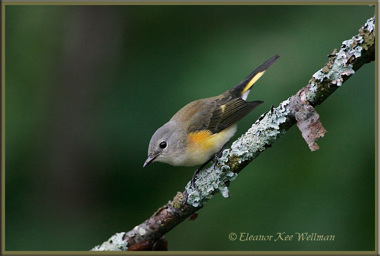 American Redstart, Fall Female