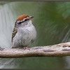 Chipping Sparrow in Pines
