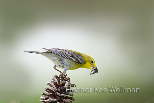 Pine Warbler, Male, Breeding Plumage, bug, pine