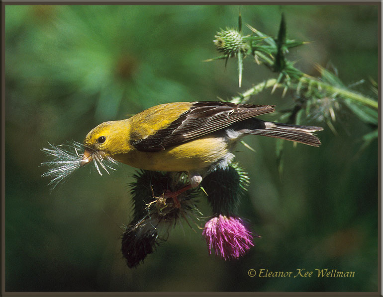 American Goldenfinch Collecting Thistledown