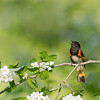 American Redstart - Alternate Plumage