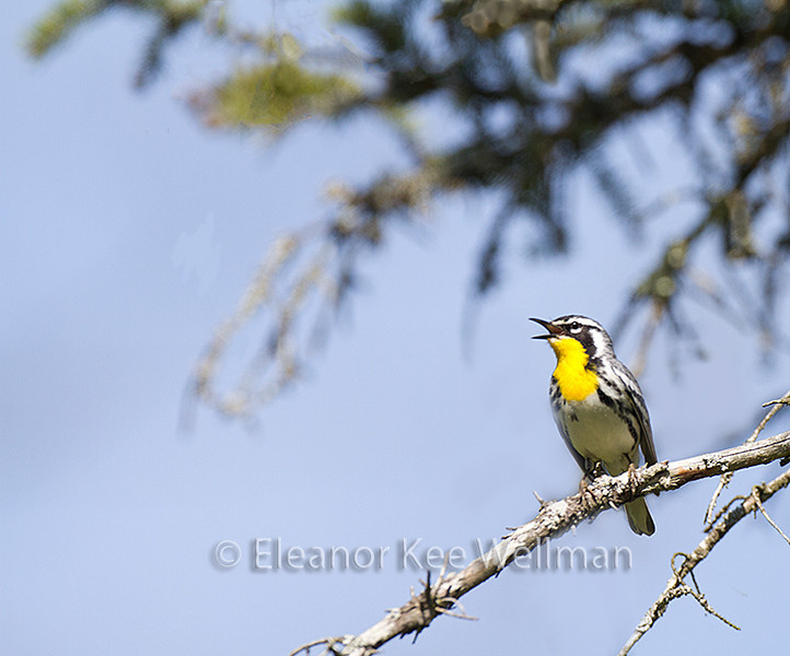 Yellow-throated Warbler, Male, breeding plumage, singing