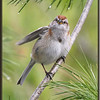 American Tree Sparrow on White Pine