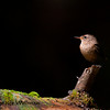 Winter Wren on Log
