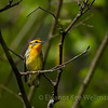 Blackburnian Warbler, Female, Breeding Plumage