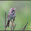 Song Sparrow with Cranefly
