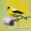 American Goldfinch on Thistle - Adult Male