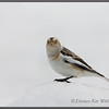 Snow Bunting, Late Winter