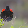 Red-winged Blackbird, Spring Display