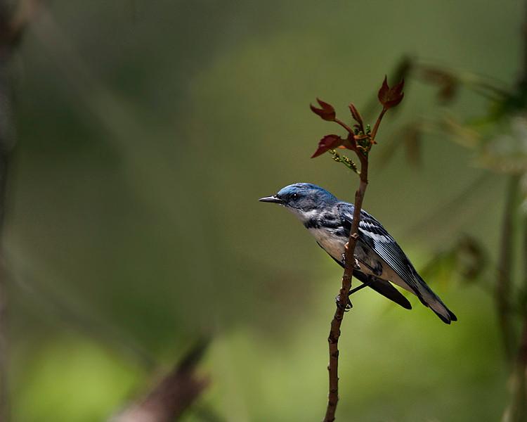 Cerulean Warbler on Poison Ivy