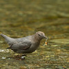 American Dipper with Salmon Fry.