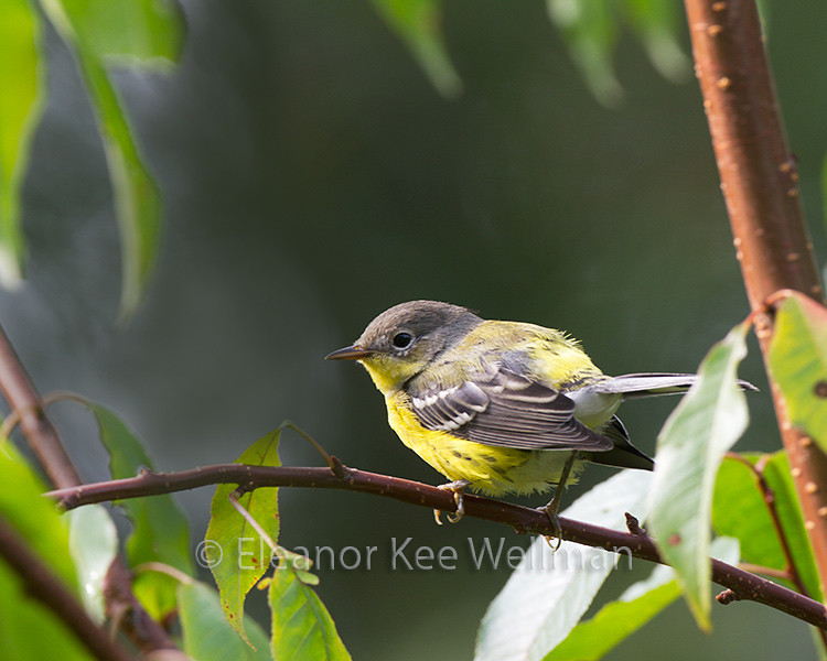 Magnolia Warbler - Fall, Basic Plumage