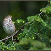 Hermit Thrush on Hemlock
