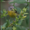 Nashville Warbler with Caterpillars