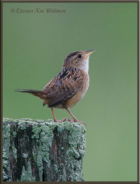 Sedge Wren Singing