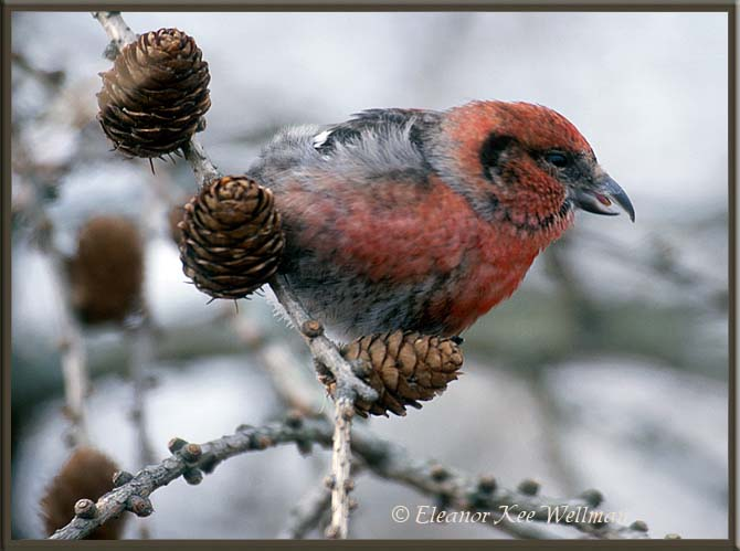 White-winged Crossbill, Male