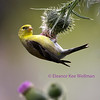 American Goldfinch on Thistle - Adult Female