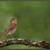 Veery Singing