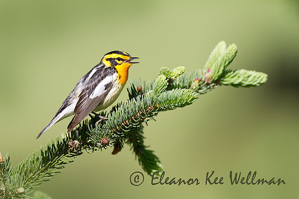 Blackburnian Warbler, Male, Singing, Breeding Plumage, Spruce