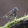 Fox Sparrow, Sooty {Pacific)