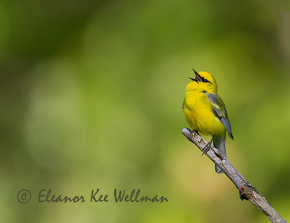 Blue-winged Warbler, Male, perched, Singing
