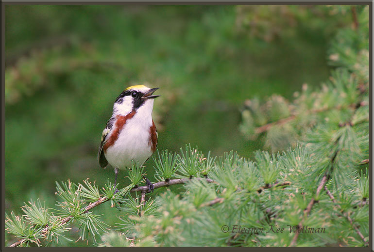 Chestnut-sided Warbler, Male, in Tamarack