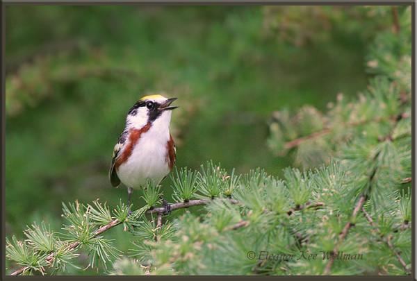 Chestnut-sided Warbler, Male, in Tamarack