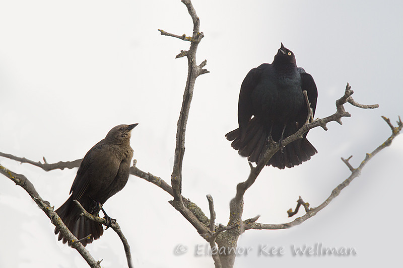 Brewer's Blackbirds, Male and female displaying