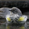 Yellow-rumped Warbler, Female, Bathing