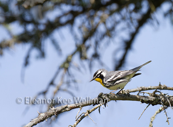 Yellow-throated Warbler, Male, Breeding plumage, spruce