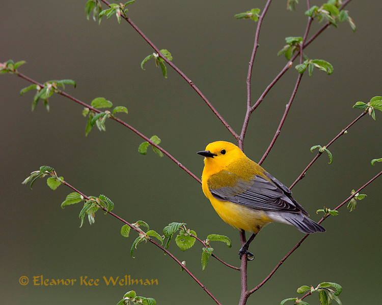 Prothonotary Warbler, male, breeding plumage
