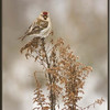 Common Redpoll on Goldenrod